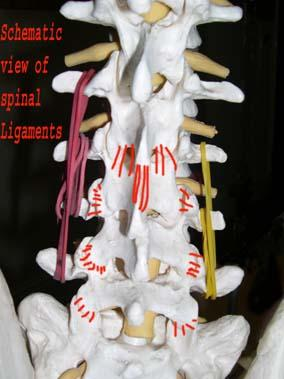 Schematic View of Spinal Ligaments